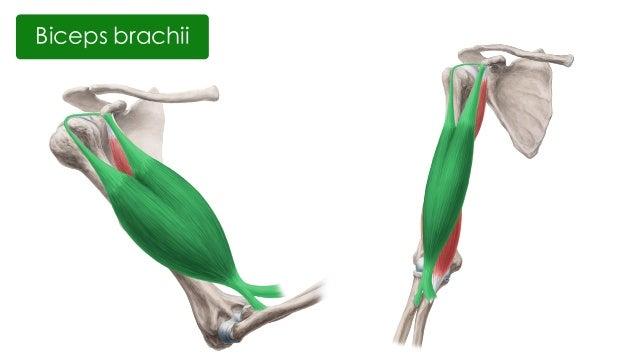 Anatomy arm model