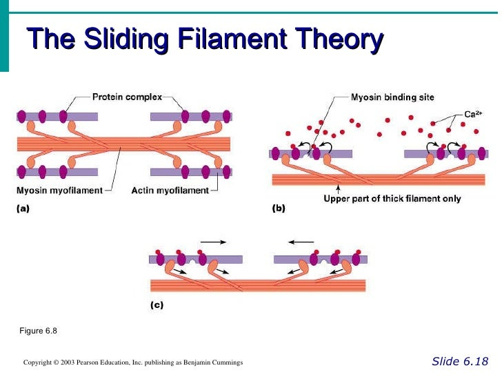 Sliding Filament Theory Worksheet Rringband – Muscle Contraction Worksheet