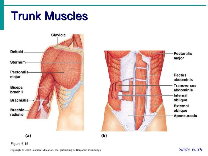 Muscle system – Pearson Education Inc Worksheets