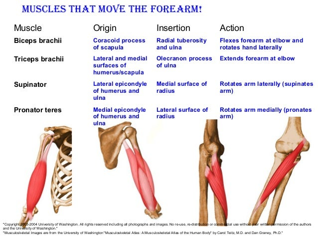 muscle system, Muscles
