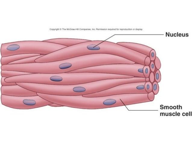 Muscle Tissue 1 2 Comparative Vertebrate Anatomy
