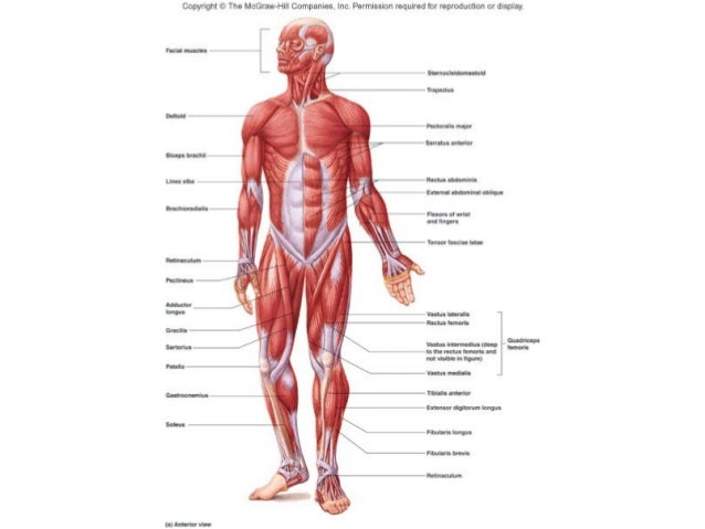Muscle Tissue 1 2 Comparative Vertebrate Anatomy