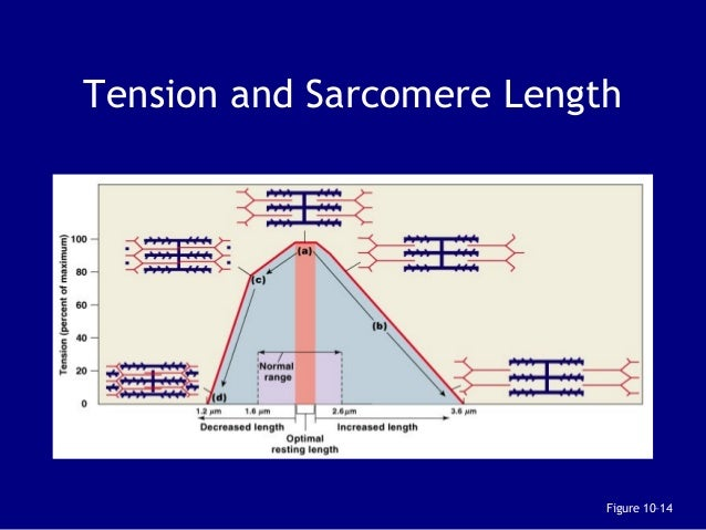 describe the length tension relationship of a sarcomere contains