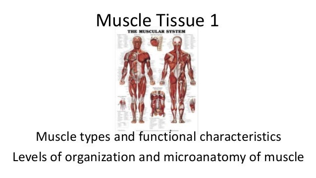 Muscle Tissue 1  Muscle types and functional characteristics Levels of organization and microanatomy of muscle