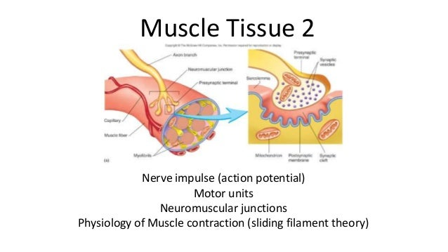 Muscle Tissue 2  Nerve impulse (action potential) Motor units Neuromuscular junctions Physiology of Muscle contraction (sl...