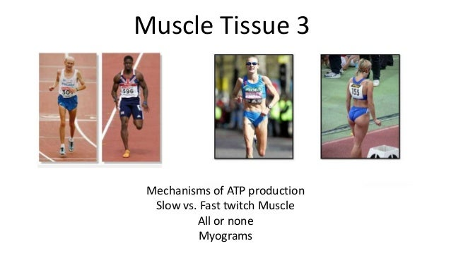 Muscle Tissue 3  Mechanisms of ATP production Slow vs. Fast twitch Muscle All or none Myograms