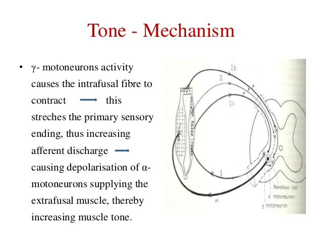 Tone - Mechanism • γ- motoneurons activity  causes the intrafusal fibre to contract  this  streches the primary sensory  e...