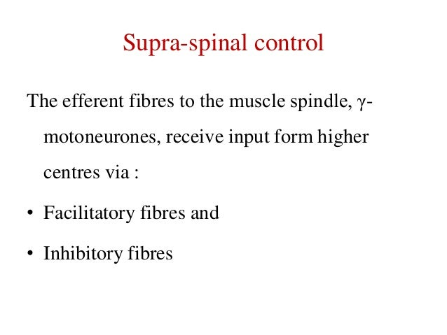 Supra-spinal control The efferent fibres to the muscle spindle, γmotoneurones, receive input form higher centres via : • F...