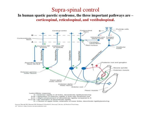 Supra-spinal control In human spastic paretic syndrome, the three important pathways are – corticospinal, reticulospinal, ...