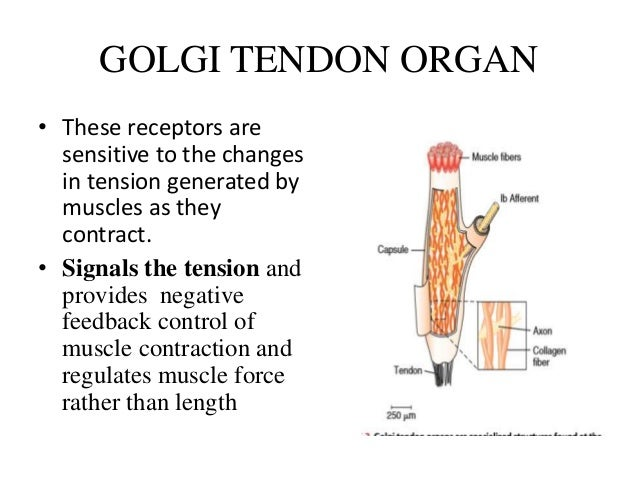 GOLGI TENDON ORGAN • These receptors are sensitive to the changes in tension generated by muscles as they contract. • Sign...