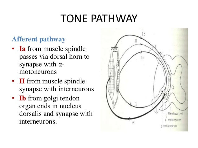 TONE PATHWAY Afferent pathway • Ia from muscle spindle passes via dorsal horn to synapse with α- motoneurons • II from mus...