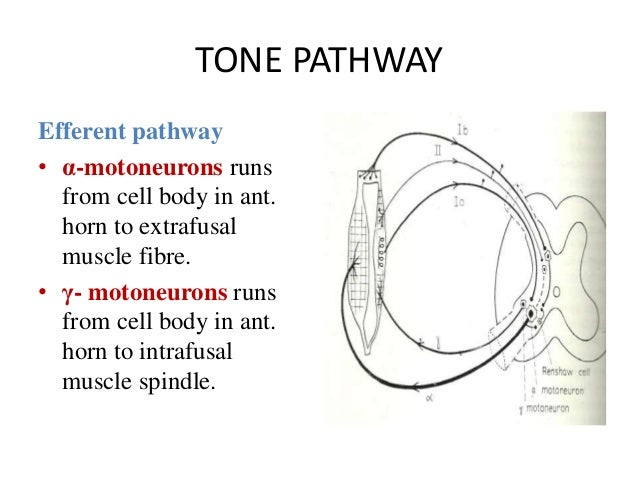 TONE PATHWAY Efferent pathway • α-motoneurons runs from cell body in ant. horn to extrafusal muscle fibre. • γ- motoneuron...