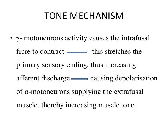 TONE MECHANISM • γ- motoneurons activity causes the intrafusal fibre to contract this stretches the primary sensory ending...
