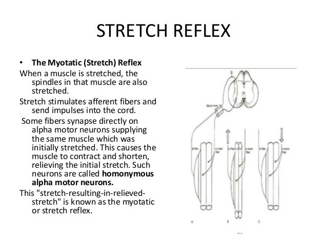 STRETCH REFLEX • The Myotatic (Stretch) Reflex When a muscle is stretched, the spindles in that muscle are also stretched....