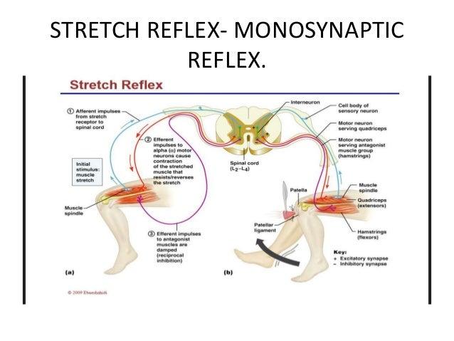 STRETCH REFLEX- MONOSYNAPTIC REFLEX.