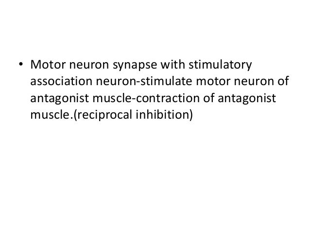 • Motor neuron synapse with stimulatory association neuron-stimulate motor neuron of antagonist muscle-contraction of anta...
