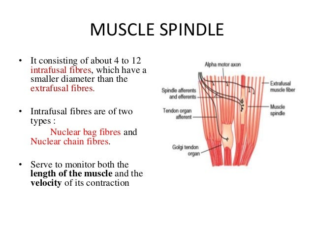 MUSCLE SPINDLE • It consisting of about 4 to 12 intrafusal fibres, which have a smaller diameter than the extrafusal fibre...