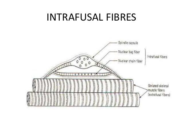 INTRAFUSAL FIBRES