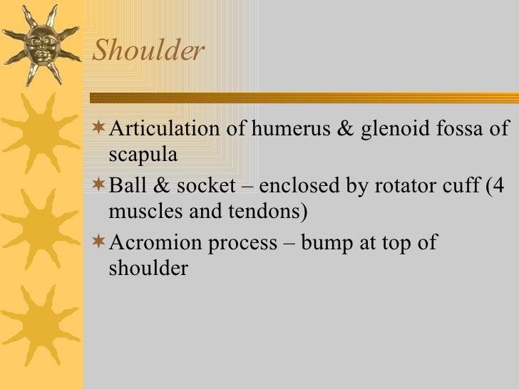 Shoulder <ul><li>Articulation of humerus & glenoid fossa of scapula </li></ul><ul><li>Ball & socket – enclosed by rotator ...