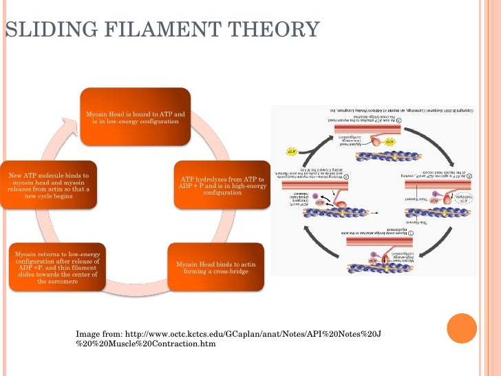 stages of sliding filament theory