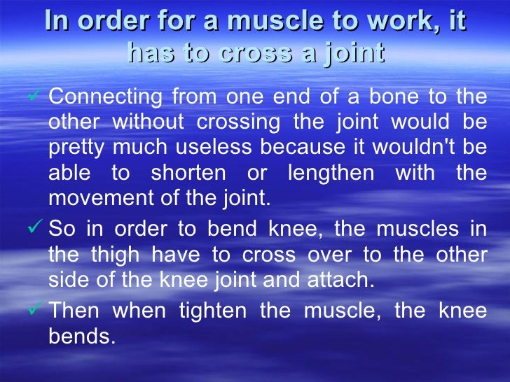 In order for a muscle to work, it has to cross a joint <ul><li>Connecting from one end of a bone to the other without cros...