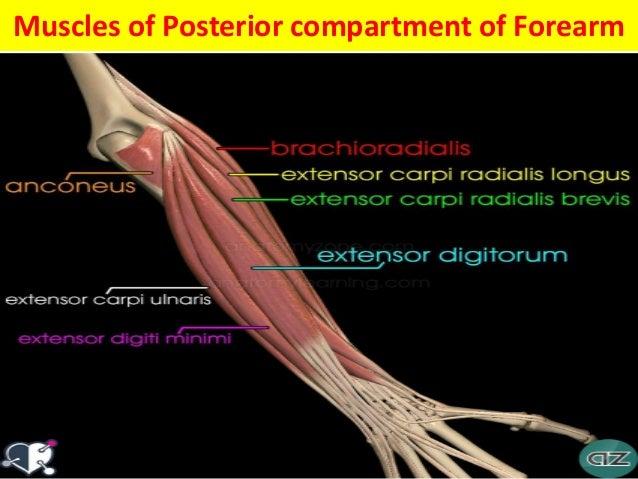 Muscular Anatomy Of Upper Limb Mri Anatomy