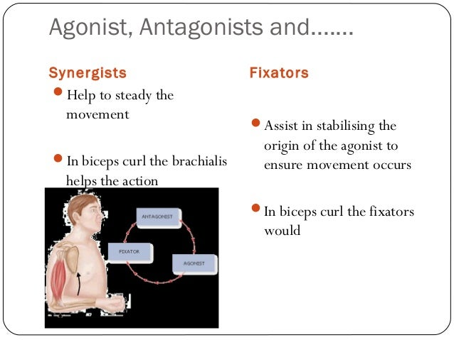 synergists and antagonists Could some one tell me the name of synergists and the antagonists for 1erector spinae, 2coracobrachialis, 3longus capitis can't find it any where on the.