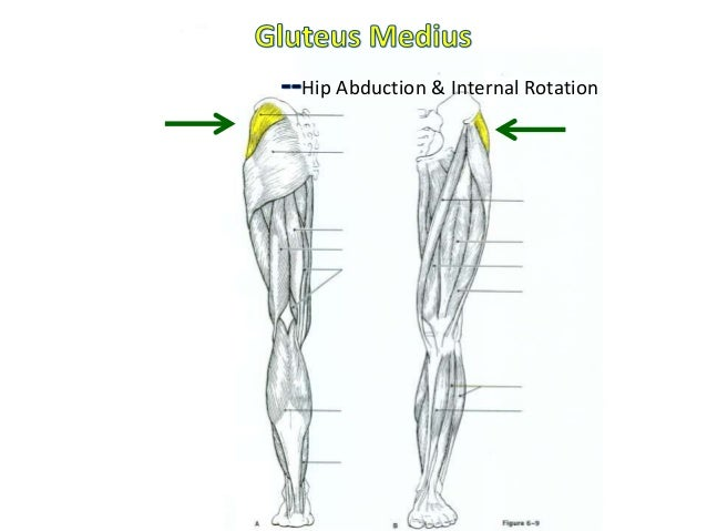 Muscular anatomy labeling packet adductor group hip adduction ccuart Images