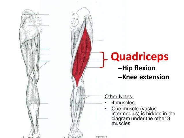 Quadraceps Muscle Labeling Diagram - DIY Enthusiasts Wiring Diagrams •