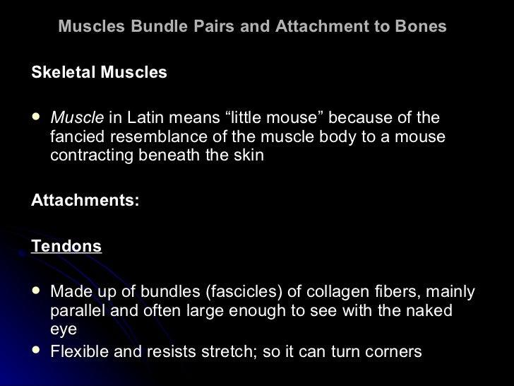 "Muscles Bundle Pairs and Attachment to Bones   <ul><li>Skeletal Muscles </li></ul><ul><li>Muscle  in Latin means ""little m..."