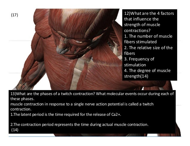 muscular physiology (2), Muscles