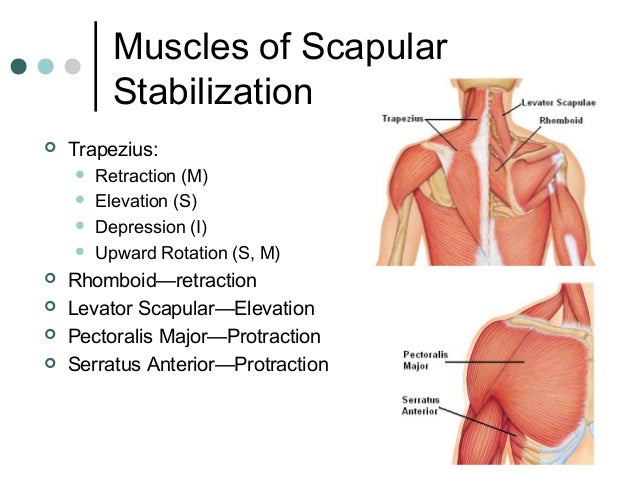 Image result for scapular depression and retraction