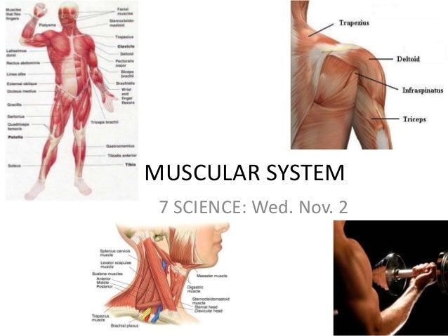 MUSCULAR SYSTEM 7 SCIENCE: Wed. Nov. 2