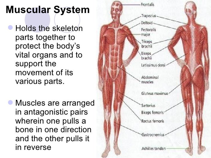 Parts Of Muscular System Reference Website Photo Gallery Examples ...