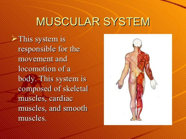MUSCULAR SYSTEM <ul><li>This system is responsible for the movement and locomotion of a body. This system is composed of s...