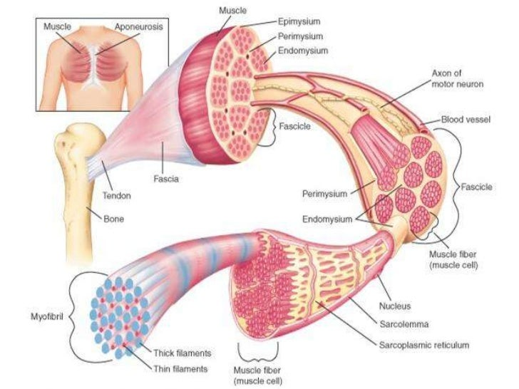 Muscular System Diagram Unlabeled Choice Image - human body anatomy