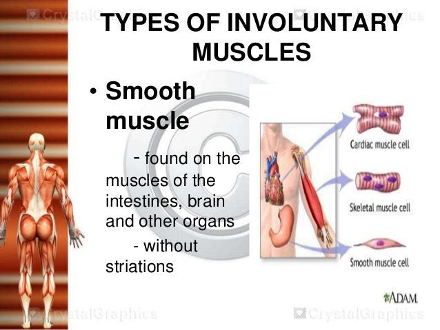 TYPES OF INVOLUNTARY      MUSCLES• Smooth  muscle    - found on the muscles of the intestines, brain and other organs     ...