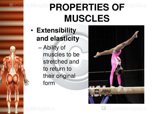 PROPERTIES OF        MUSCLES• Extensibility  and elasticity  – Ability of    muscles to be    stretched and    to return t...