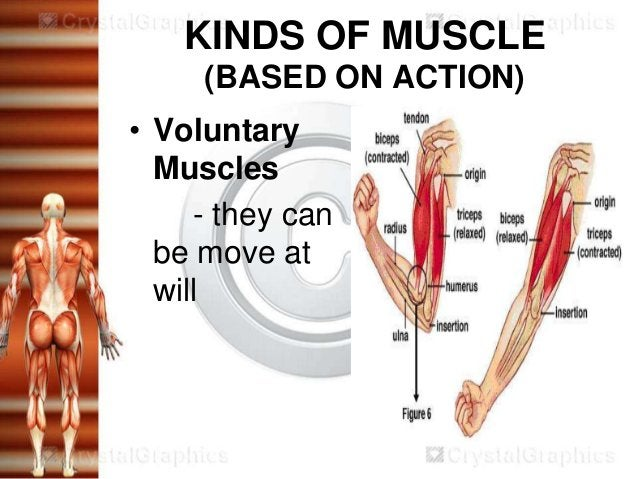 KINDS OF MUSCLE     (BASED ON ACTION)• Voluntary  Muscles     - they can  be move at  will