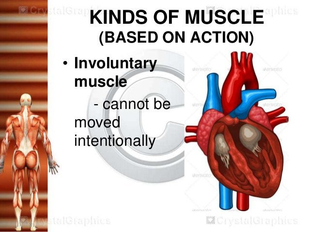 KINDS OF MUSCLE     (BASED ON ACTION)• Involuntary  muscle     - cannot be  moved  intentionally