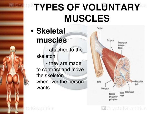 TYPES OF VOLUNTARY     MUSCLES• Skeletal  muscles     - attached to the skeleton     - they are made to contract and move ...