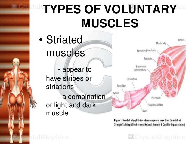 TYPES OF VOLUNTARY     MUSCLES• Striated  muscles      - appear to have stripes or striations      - a combination or ligh...