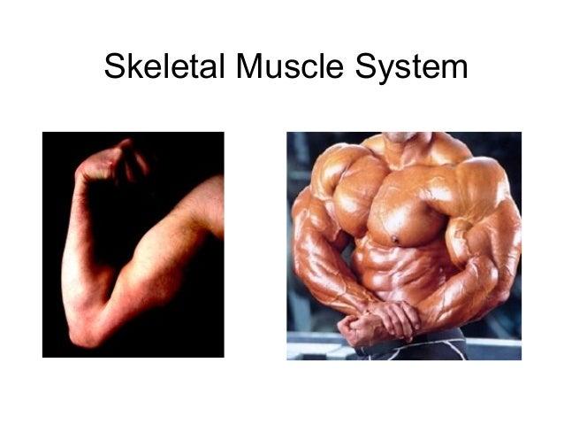 Skeletal Muscle System