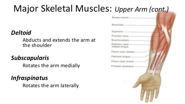 what muscle adducts the arm