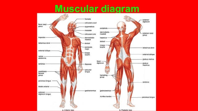 Muscular system by jala2 3 muscular diagram ccuart Image collections