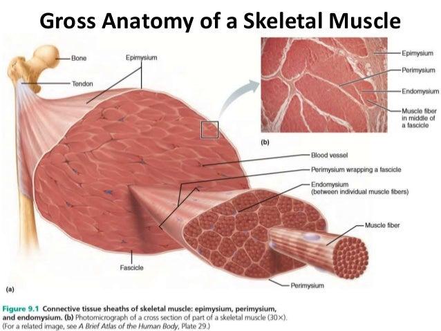 Muscular system of vertebrates