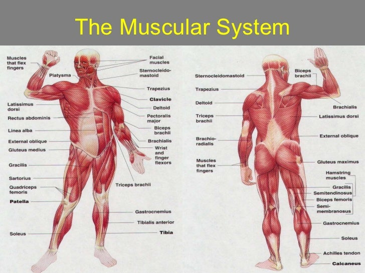 Muscular systempowerpoint – Muscular System Worksheet