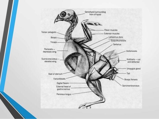 Musculatura aves
