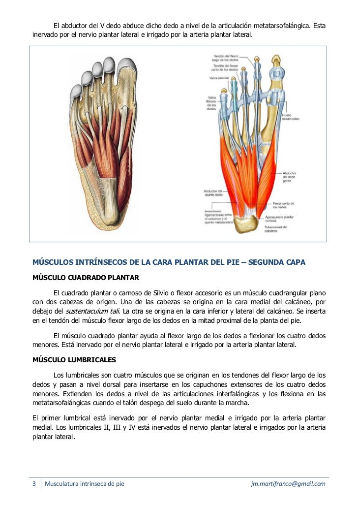Musculatura intrínseca del pie