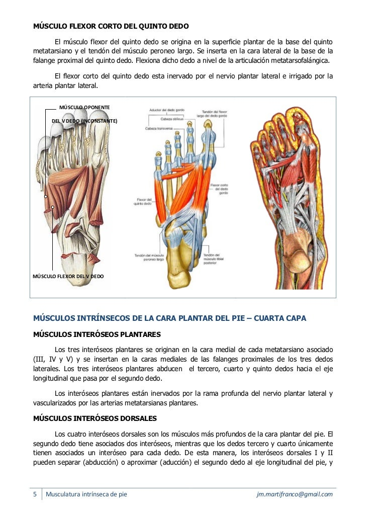 Perfecto Los Músculos Del Pie Regalo - Imágenes de Anatomía Humana ...